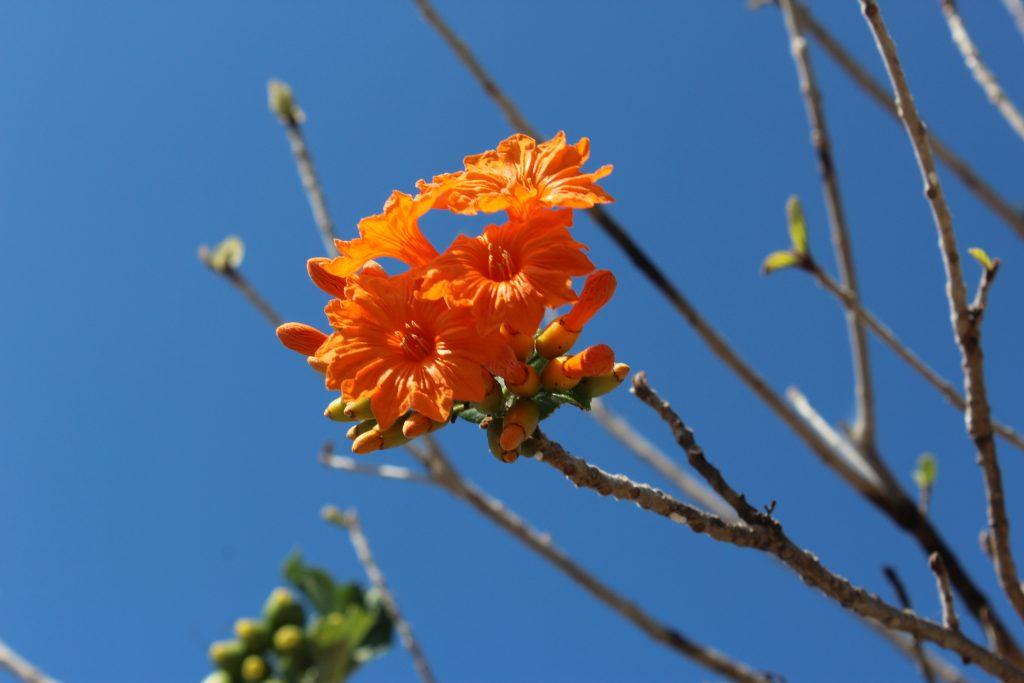 El Siricote, flor regional de Quintana Roo